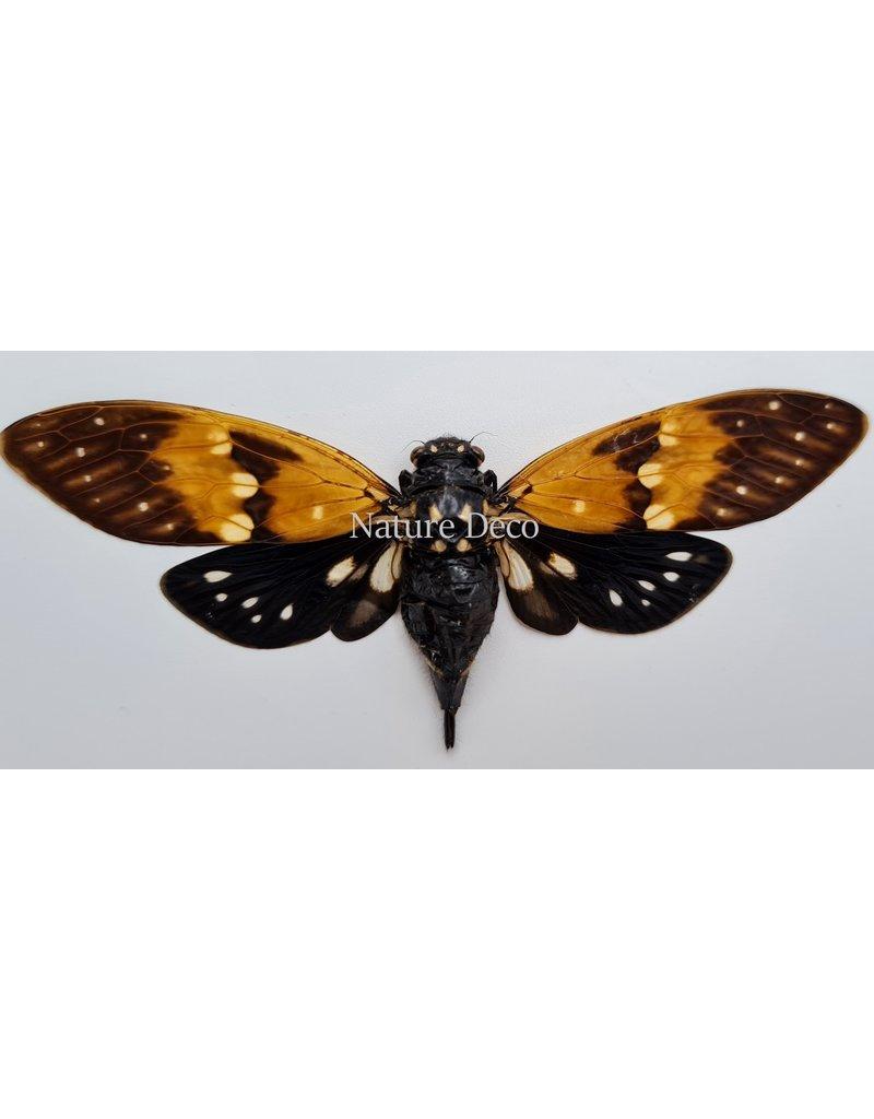 . (Un)mounted Ambragaeana Ambra (cicada)