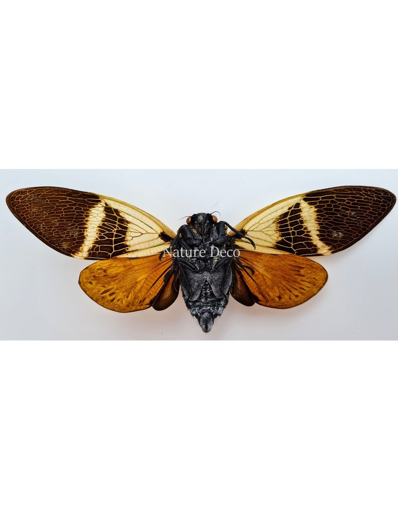 . (On)geprepareerde Angamiana Floridula (Cicade)