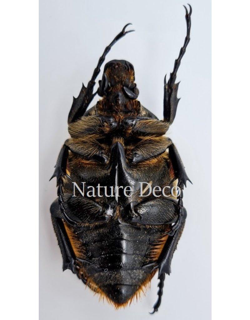 . Unmounted Goliathus Orientalis female