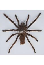 . Unmounted Eurypelma Spinicrus