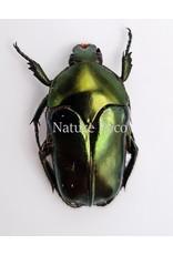 Ongeprepareerde  Ischiopsopha Aruensis