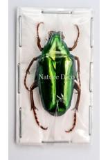 . Unmounted Chalcothea Neglecta