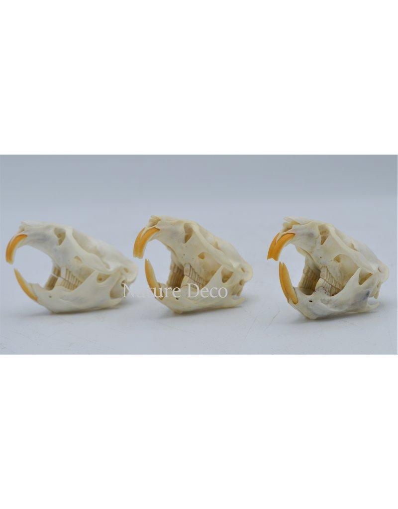 . Muskusrat schedel