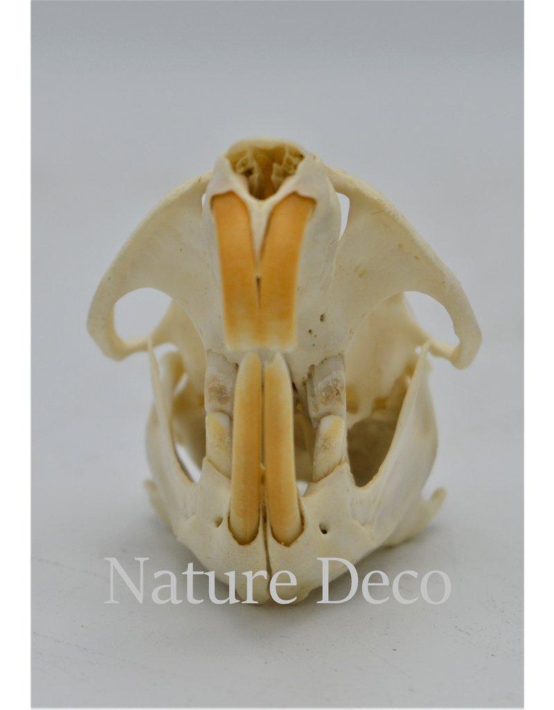 . Muskrat skull