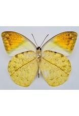 . Unmounted Hebomoia Glaucippe Celebensis