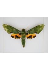 Nature Deco Euchloron Megaera in luxe 3D lijst 17 x 17cm
