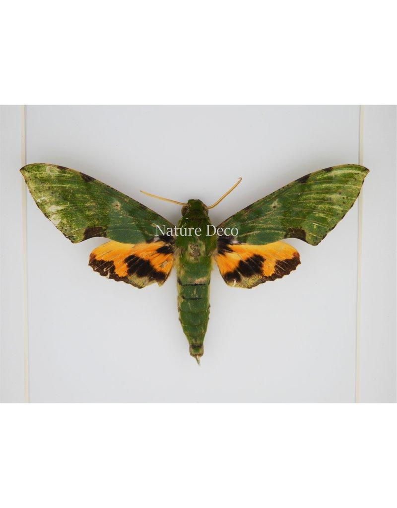 Nature Deco Euchloron Megaera in luxury 3D frame 17  x 17cm
