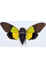 . (Un)mounted Trengganua Sybilla (cicada)
