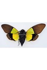 . (On)geprepareerde Trengganua Sybilla (cicade)