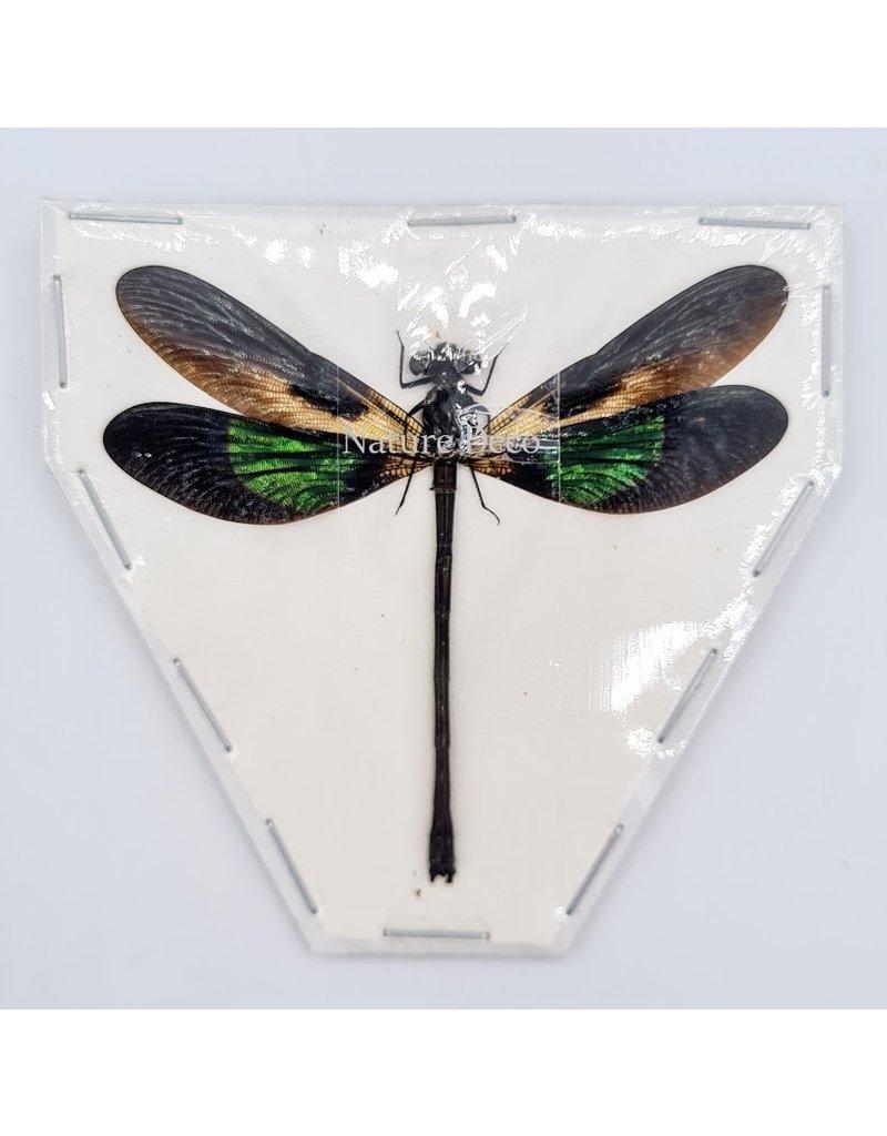 . (Un)mounted Euphaea Variegata