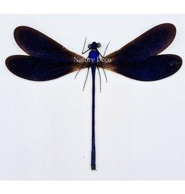 . (Un)mounted Vestalis Luctuosa