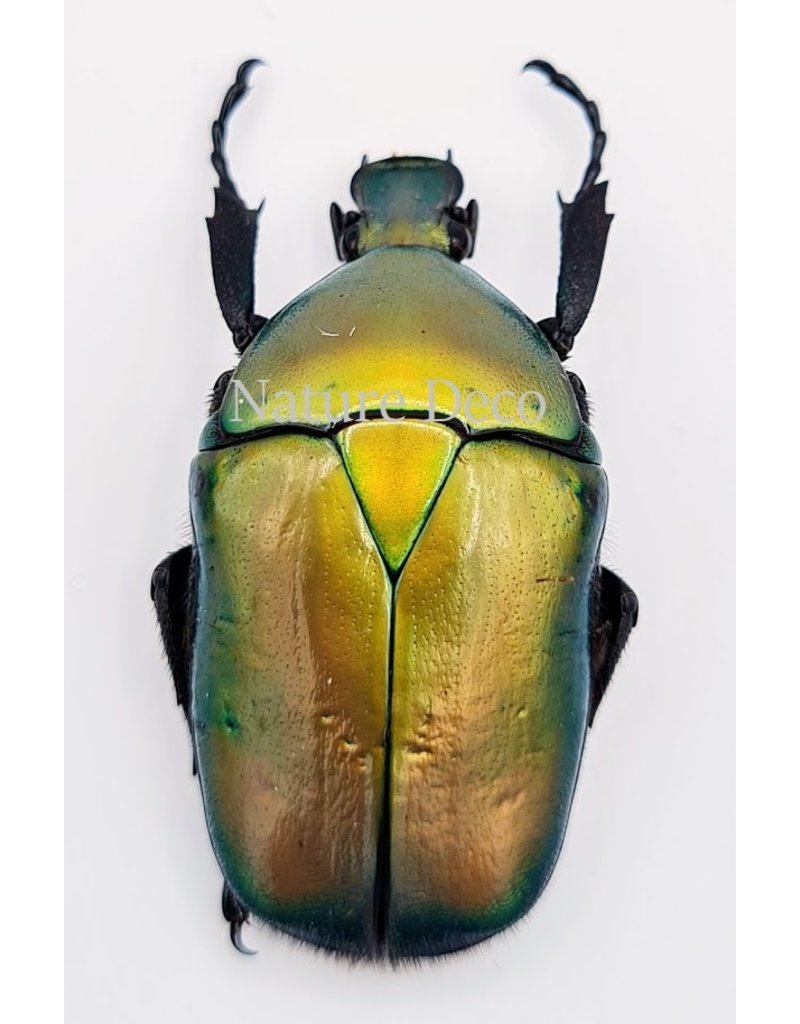 . Unmounted Rhomborrhina Flammea Green