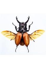 . (Un)mounted Odontolabis Sarasinorum