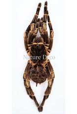 . Ongeprepareerde Acanthoscurria Juruenicola (vogelspin)