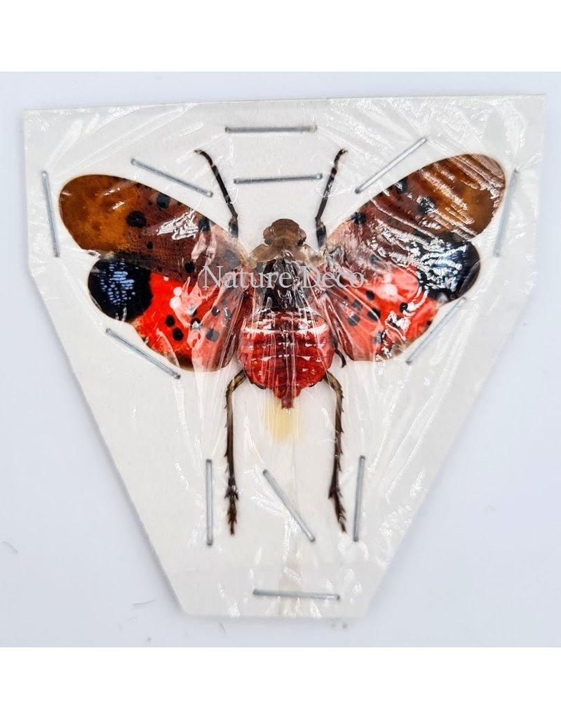 . (Un)mounted Penthicodes Atomaria