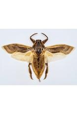 . (On)geprepareerde Lethocerus Indicus vliegend