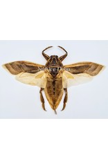 . (Un)mounted Lethocerus Indicus flying