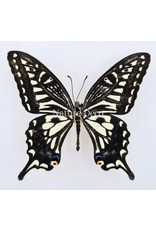 . Unmounted Papilio Xuthus