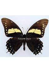 . Ongeprepareerde Papilio Aristeus