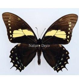 . Unmounted Papilio Aristeus