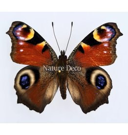 . Unmounted Inachis io (Peacock butterfly)