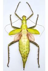. Ongeprepareerde Heteropteryx Dilatata