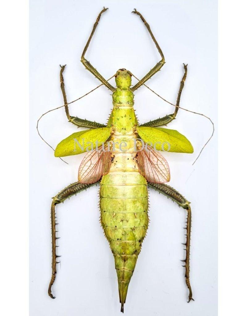 . Unmounted Heteropteryx Dilatata