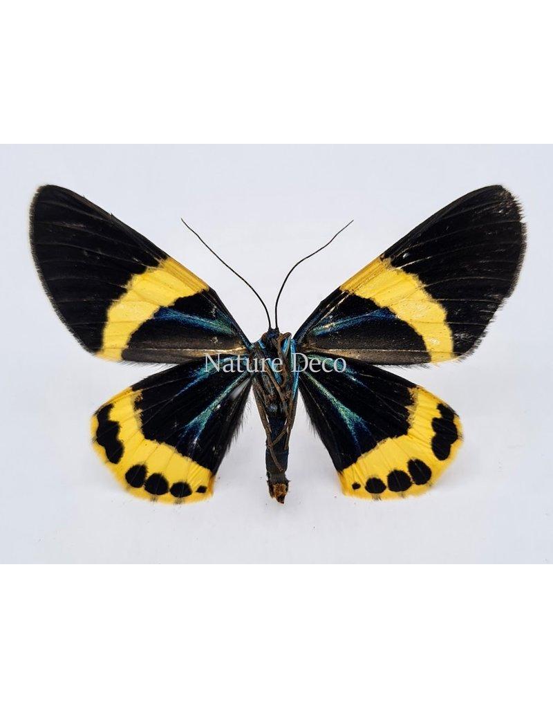 . Unmounted Milionia Basalis (yellow)