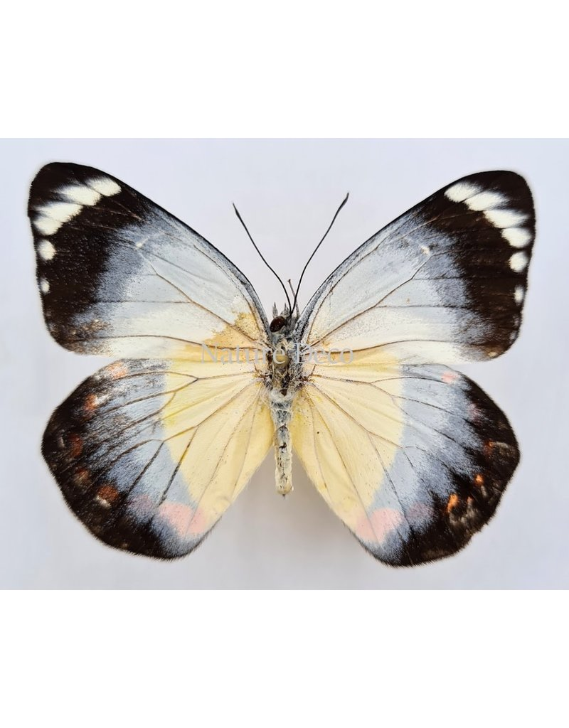 . Unmounted Delias Timorensis