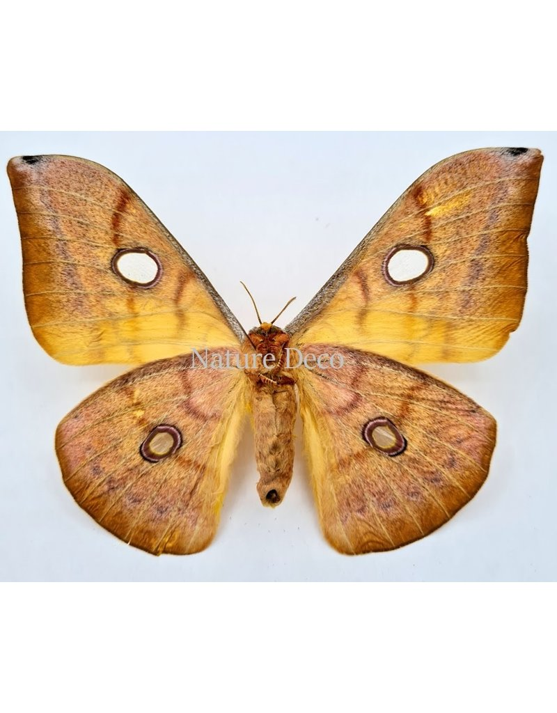 . Unmounted Antheraea Jana (female)