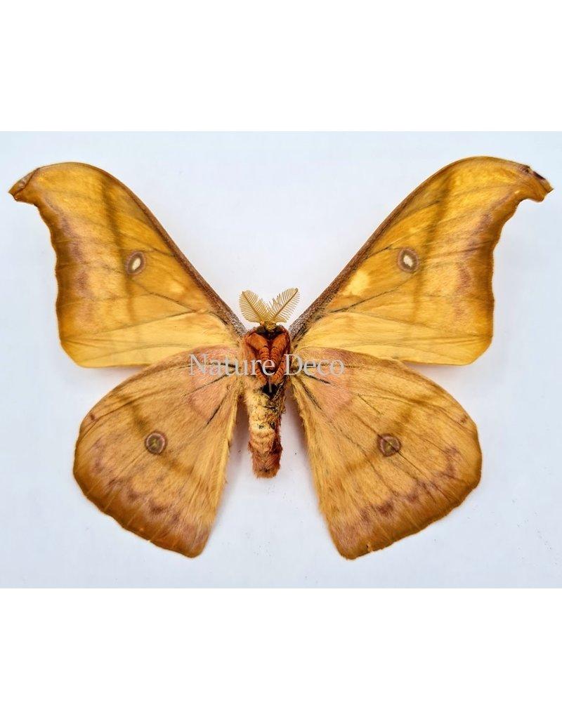 . Unmounted Antheraea Jana (male)