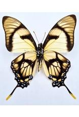 . Unmounted Eurytides Dolicaon