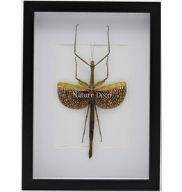 Nature Deco Anchiale Maculata (Stick insect) in luxury 3D frame