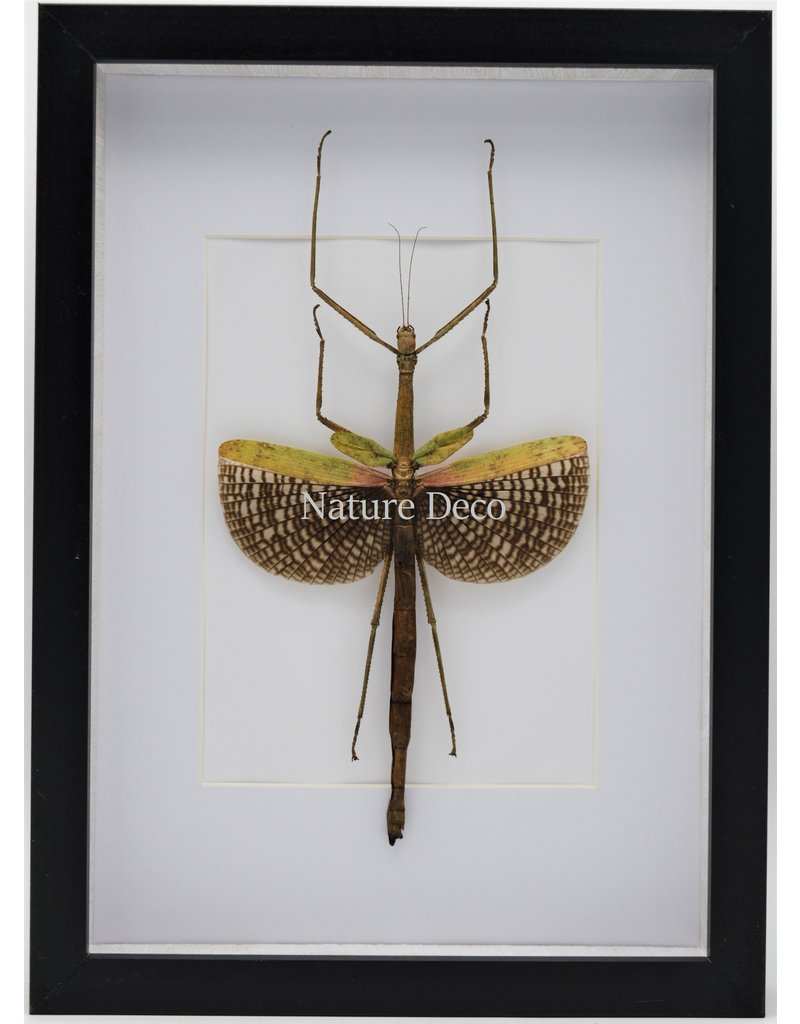 Nature Deco Anchiale Maculata (Stick insect) in luxury 3D frame 32 x 23,5cm
