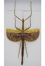 Nature Deco Anchiale Maculata (wandelende tak) in luxe 3D lijst 32 x 23,5cm