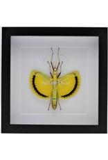 Nature Deco Tagesoidea Nigrofasciata (wandelende tak) in luxe 3D lijst 22 x 22cm