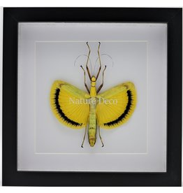 Nature Deco Tagesoidea Nigrofasciata (stick insect ) in luxury 3D frame