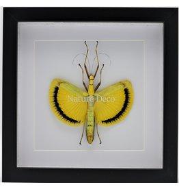Nature Deco Tagesoidea Nigrofasciata (wandelende tak) in luxe 3D lijst
