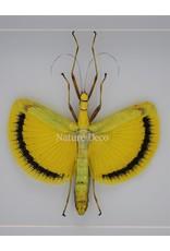 Nature Deco Tagesoidea Nigrofasciata (stick insect ) in luxury 3D frame 22 x 22cm