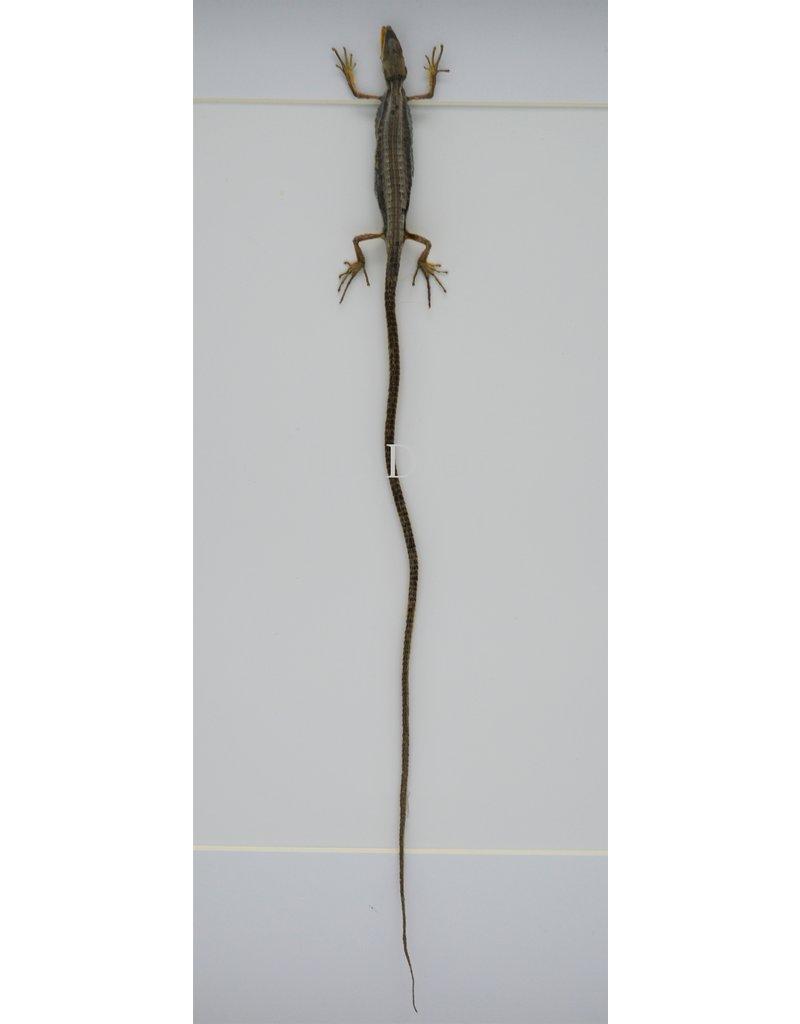 Nature Deco Langstaarthagedis in luxe 3D lijst 32 x 23,5cm