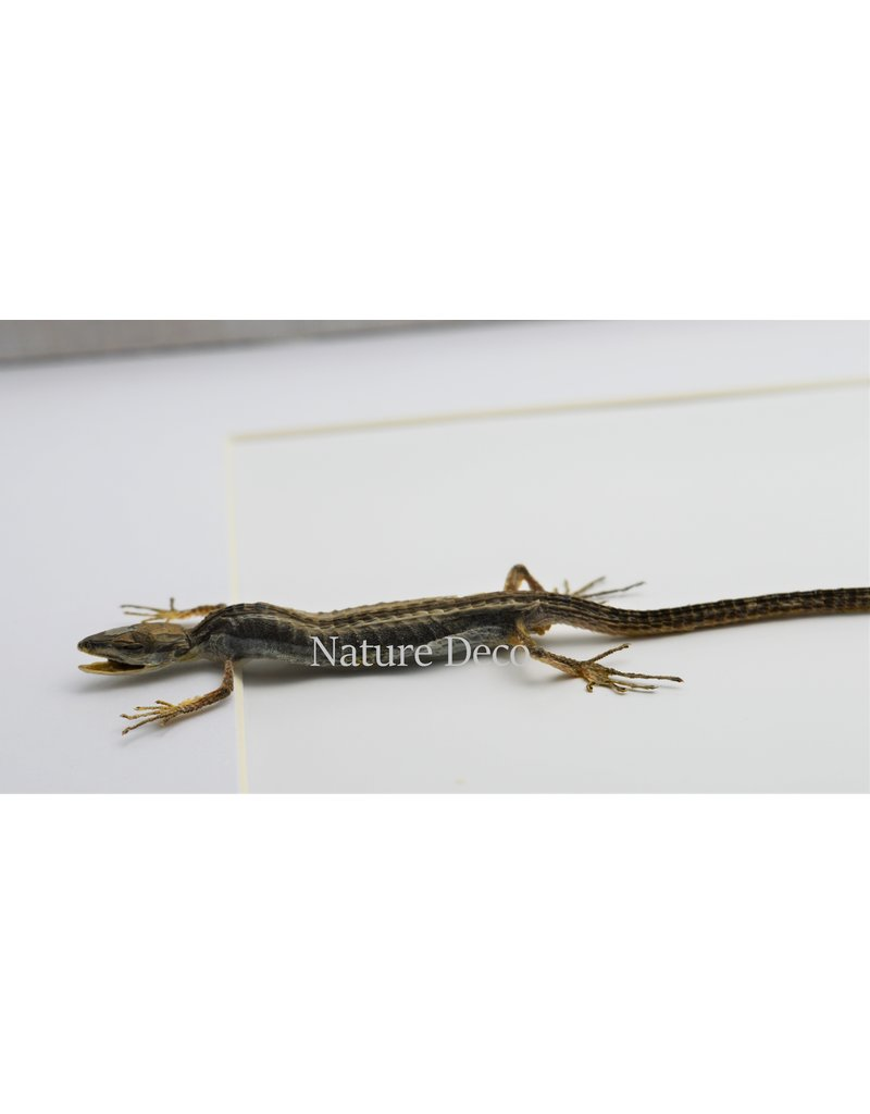 Nature Deco Long-tailed lizard in luxury 3D frame 32 x 23,5cm