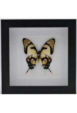 Nature Deco Eurytides Dolicaon in luxury 3D frame 17 x 17cm