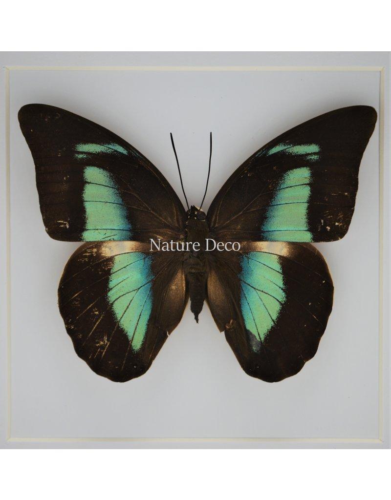Nature Deco Prepona Demophon in luxe 3D lijst 17 x 17cm