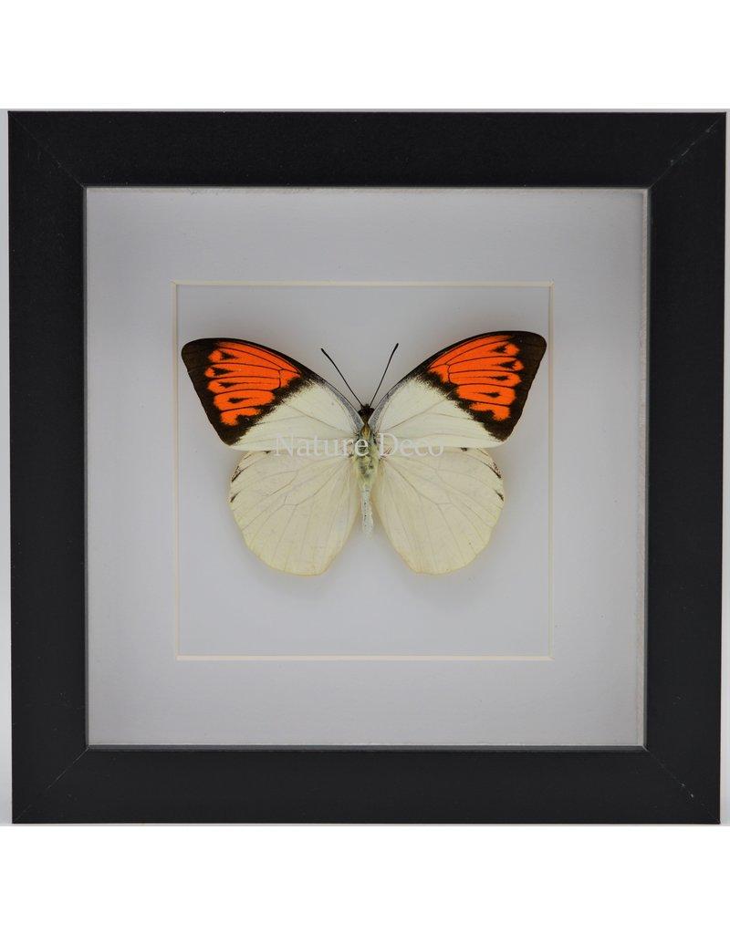 Nature Deco Hebomoia Glaucippe in luxe 3D lijst 17 x 17cm