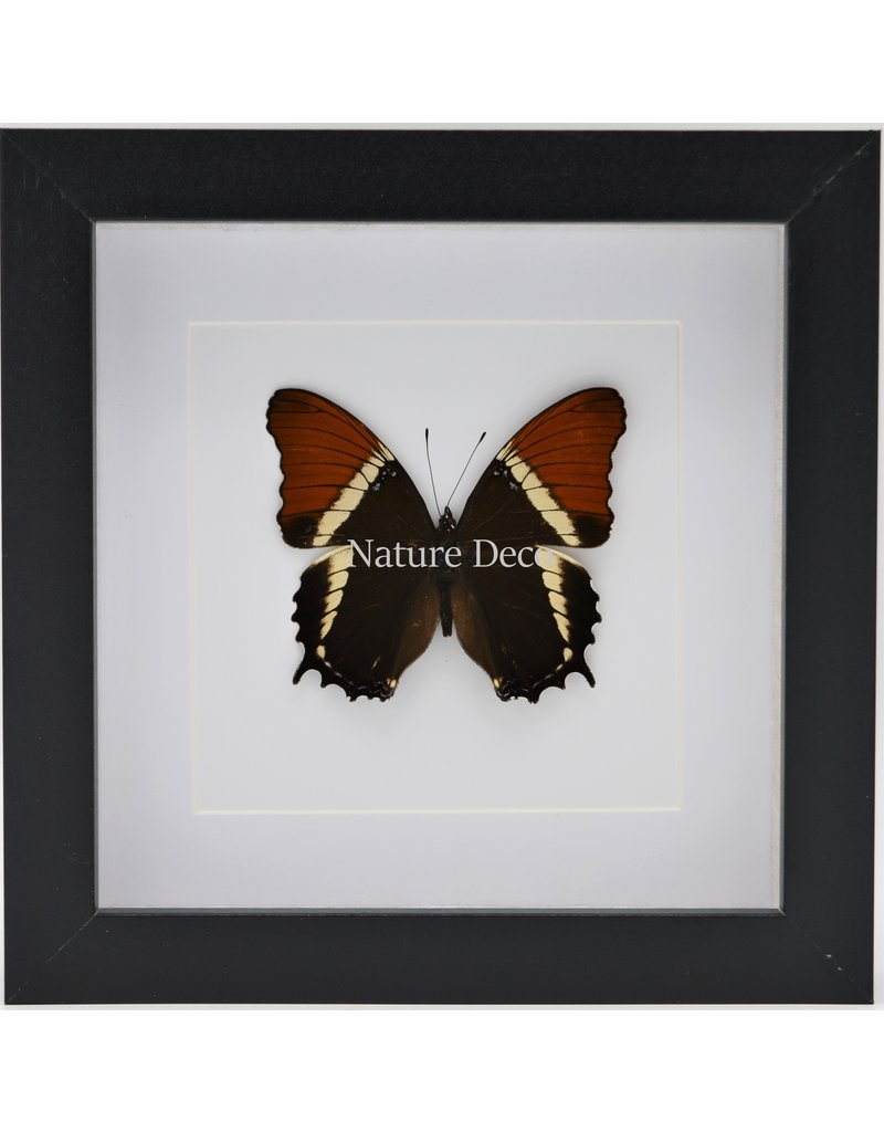 Nature Deco Siproeta Epaphus in luxe 3D lijst