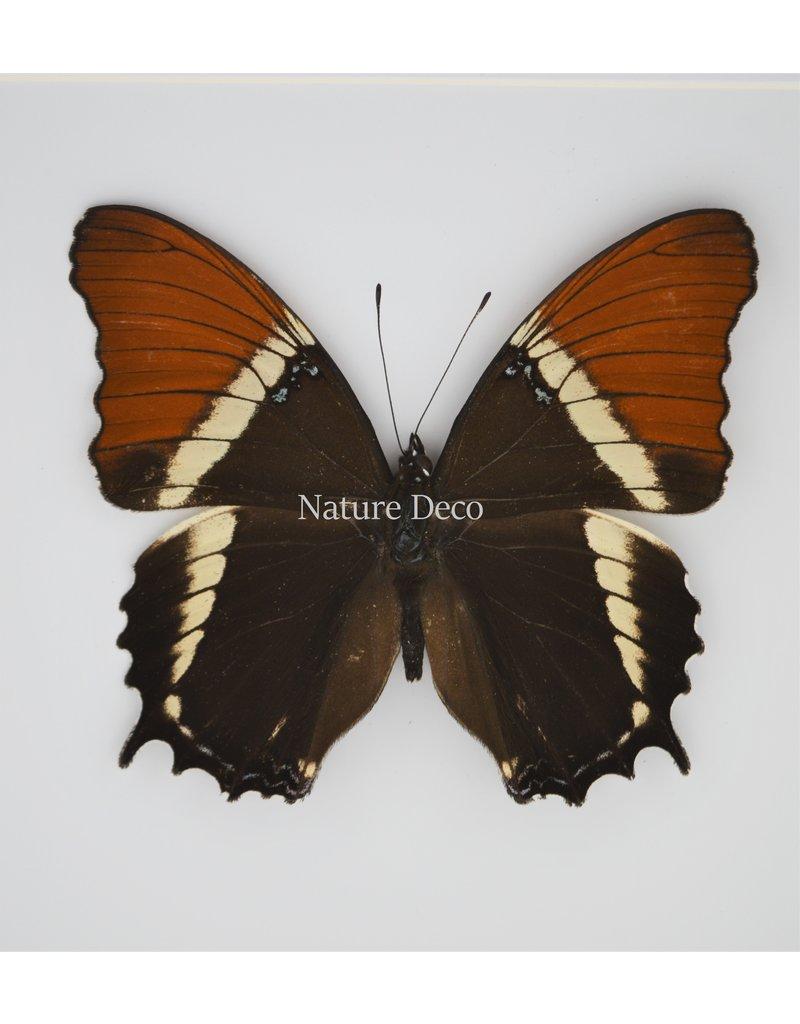 Nature Deco Siproeta Epaphus in luxury 3D frame 17 x 17cm