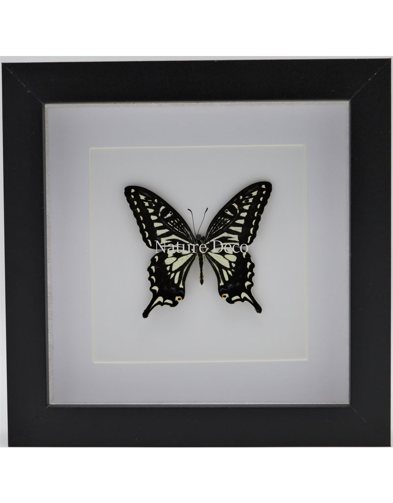 Nature Deco Papilio Xuthus in luxe 3D lijst 17 x 17cm