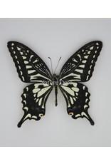 Nature Deco Papilio Xuthus in luxury 3D frame 17 x 17cm