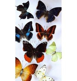 . B keus ongeprepareerde vlinders luxe mix 10st