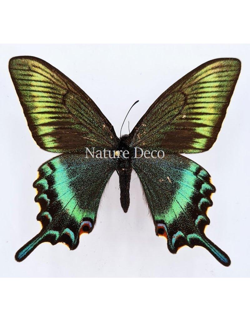 . Unmounted Papilio Maackii (spring)